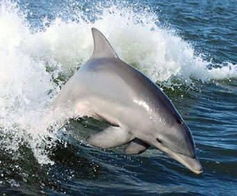 Hilton Head Dolphin Cruises, jumping dolphin