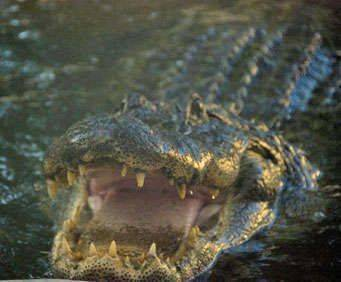 Bille Swamp Safari Twilight Buggy Tour, alligator