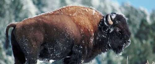 Grand Teton National Park Wildlife, Art and Sleigh Expedition: Buffalo