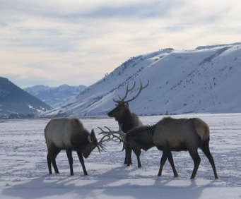 Grand Teton National Park Wildlife, Art and Sleigh Expedition: Moose