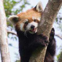 Come see the red pandas!