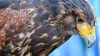 Roscoe The Harris Hawk