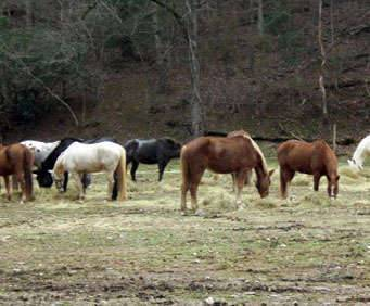 1 Hour Smoky Mountains Horseback Ride, horses